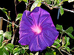 Purple Empress Ipomoea Nil