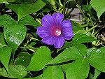 Violet Blast Ipomoea Nil