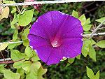 Purple Twinkle Ipomoea Nil